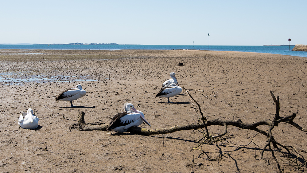 Pelicans resting at low tide at Wynnum Brisbane Bayside Australia